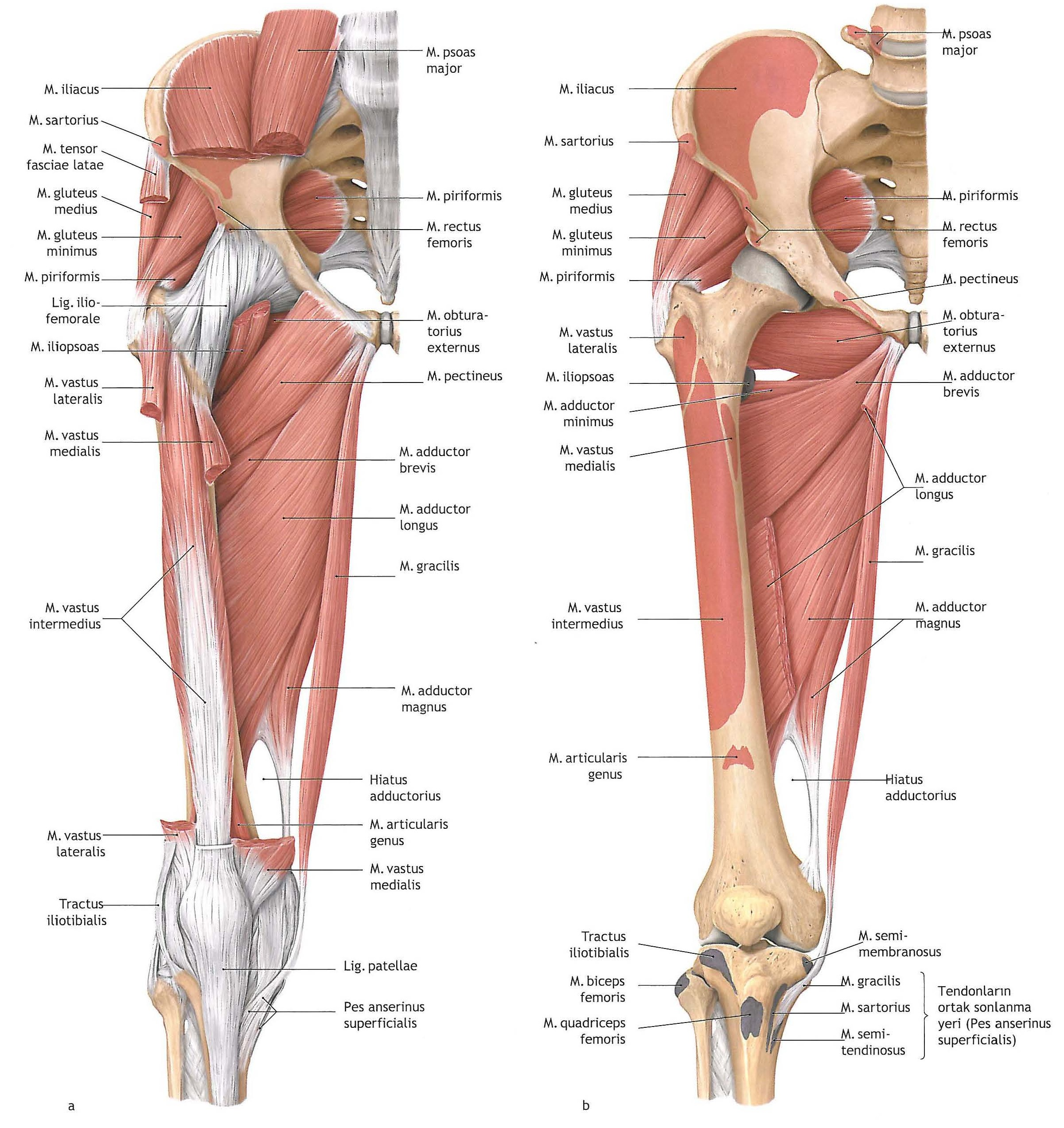 pics inner and outer thigh muscles - HD 1065×1118